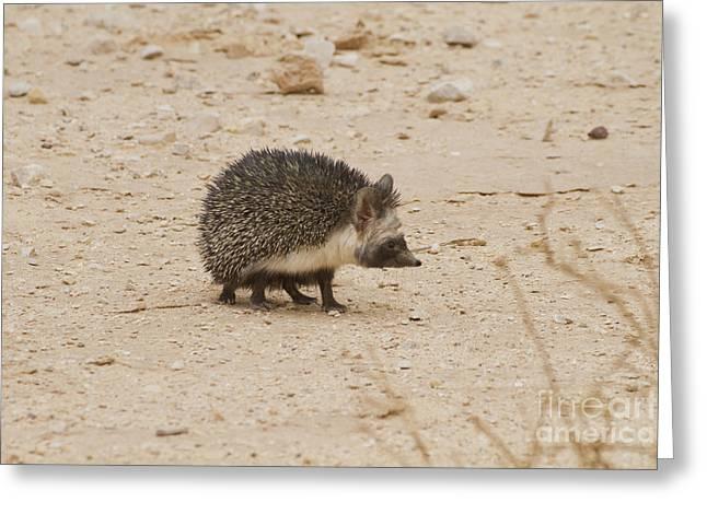 Adaptation Greeting Cards - Desert Hedgehog Paraechinus aethiopicus Greeting Card by Eyal Bartov