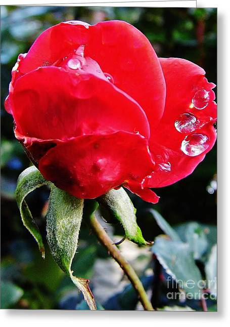 Moisture On Plants Photographs Greeting Cards - Raindrops On The Rose Greeting Card by D Hackett