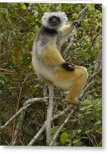 Madagascar National Park Greeting Cards - Diademed Sifaka Madagascar Greeting Card by Pete Oxford