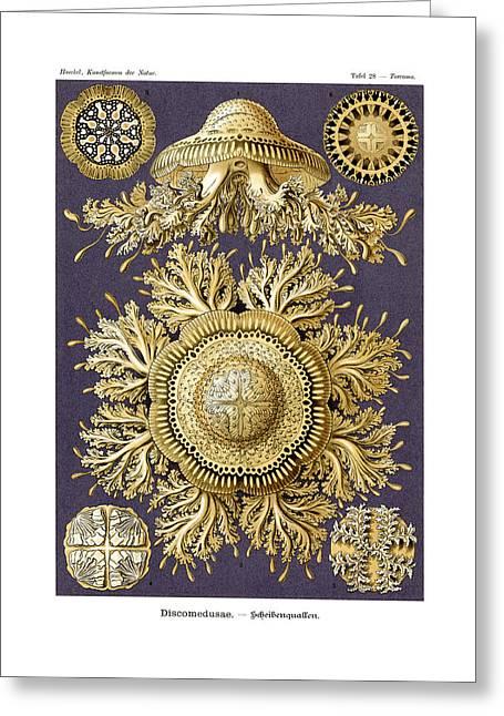 Discomedusae Greeting Card by Ernst Haeckel