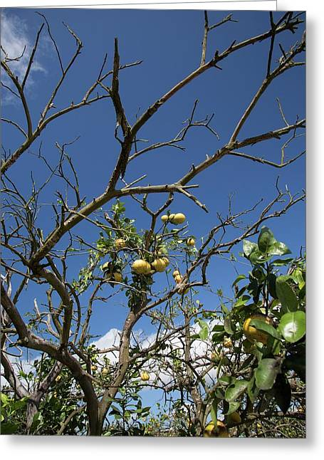 Diseased Grapefruit Tree Greeting Card by Jim West