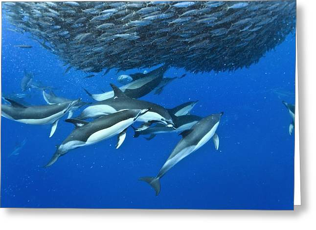 Fish. Spherical Greeting Cards - Dolphins hunting mackerel Greeting Card by Science Photo Library