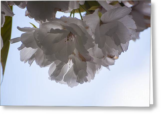 Silverton Greeting Cards - Double Cherry Blossom Greeting Card by Mandy Judson