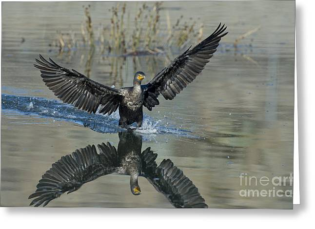 Double-crested Cormorant Greeting Cards - Double-crested Cormorant Greeting Card by Anthony Mercieca