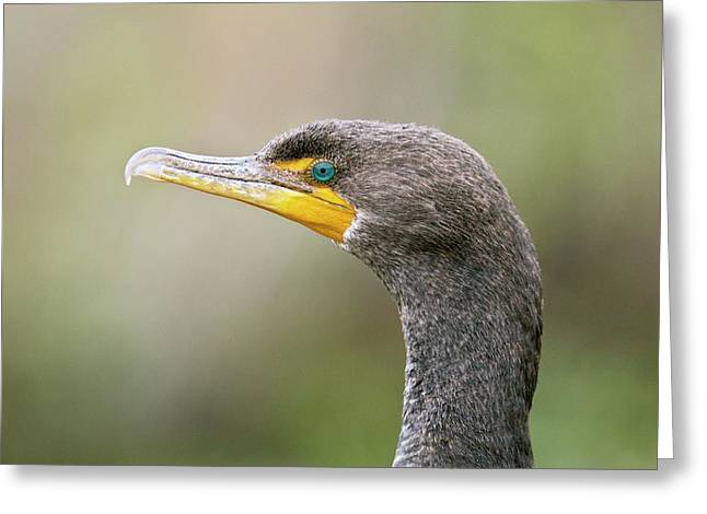 Double-crested Cormorant Greeting Card by Bob Gibbons