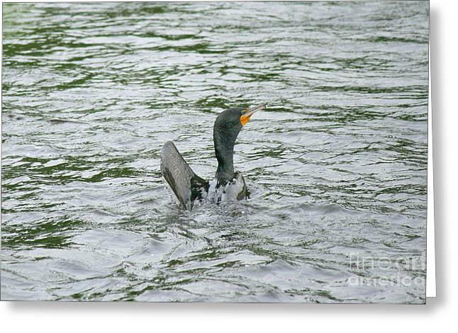 Bird Photography Greeting Cards - Double-crested Cormorant  Greeting Card by Neal  Eslinger