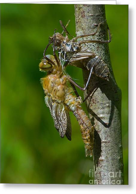 Downy Greeting Cards - Downy Emerald Dragonfly Greeting Card by Steen Drozd Lund