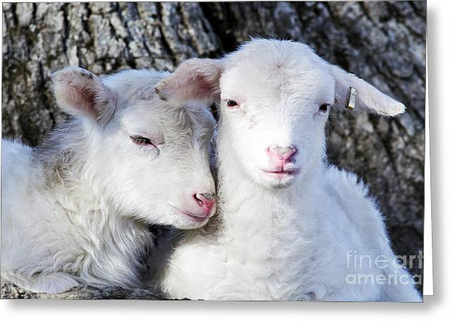 Family Time Greeting Cards - Drowsy Day Old Lambs Greeting Card by Thomas R Fletcher