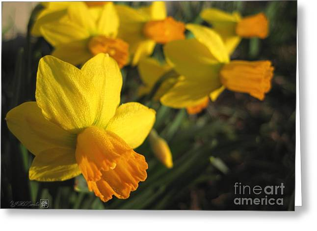 Spring Bulbs Greeting Cards - Dwarf Cyclamineus Daffodil named Jet Fire Greeting Card by J McCombie