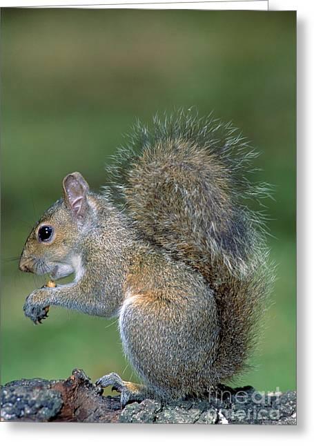 Eastern Grey Squirrel Greeting Cards - Eastern Grey Squirrel Greeting Card by Millard H. Sharp