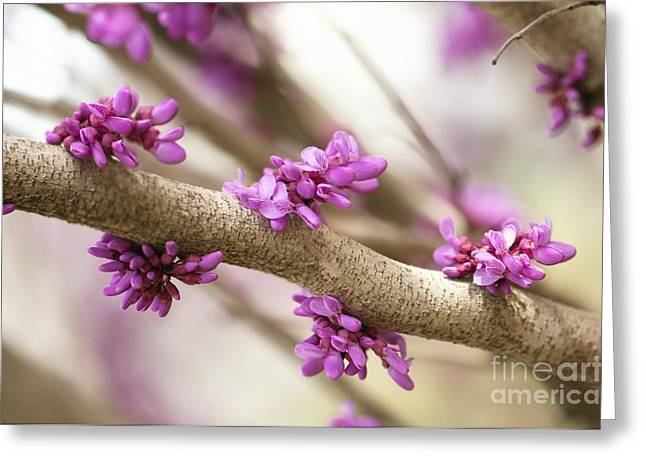 Cercis Greeting Cards - Eastern Redbud Cercis Canadensis Greeting Card by Maria Mosolova