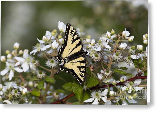 Common Tiger Butterfly Greeting Cards - Eastern Tiger Swallowtail Greeting Card by Linda Freshwaters Arndt