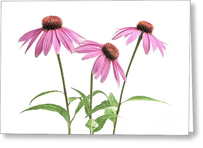 Medicinal Plant Greeting Cards - Echinacea purpurea flowers Greeting Card by Elena Elisseeva