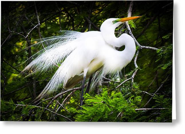 Great White Egret Greeting Cards - Elegance Greeting Card by Karen Wiles