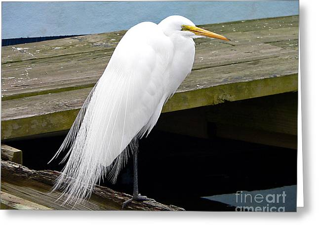 Great White Egret Greeting Cards - Elegant Egret Greeting Card by Al Powell Photography USA