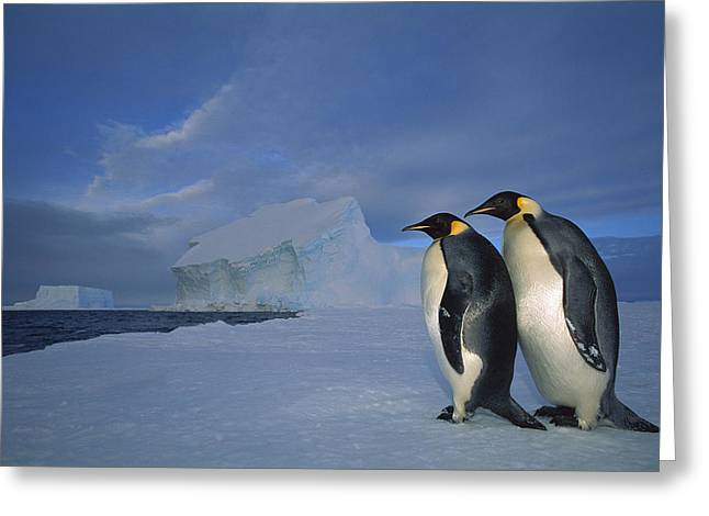 Seabirds Greeting Cards - Emperor Penguins At Midnight Antarctica Greeting Card by Tui De Roy