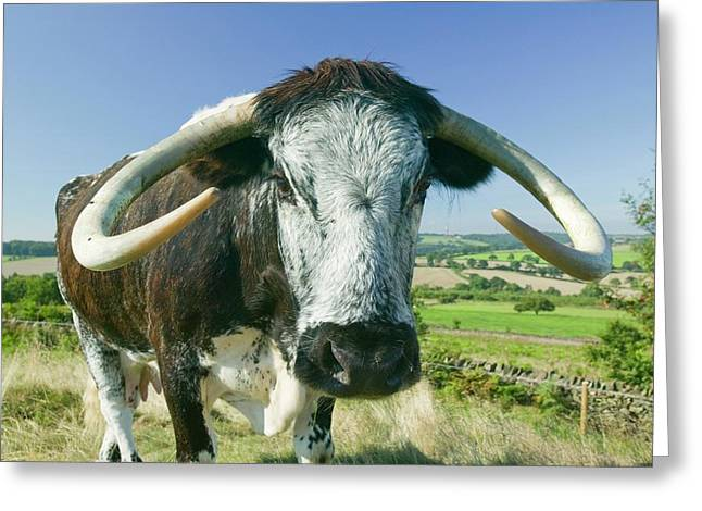 English Long Horn Cattle Greeting Card by Ashley Cooper
