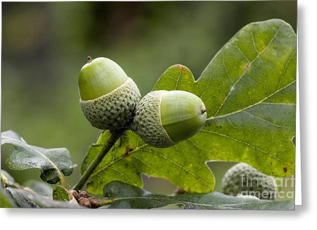 Acorn Greeting Cards - English Oak Acorns Quercus Robur Greeting Card by Bob Gibbons