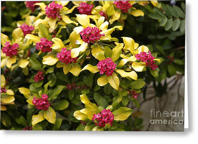 Pink Gold Flora Greeting Cards - Escallonia Exoniensis Gold Brian Greeting Card by Dr. Keith Wheeler