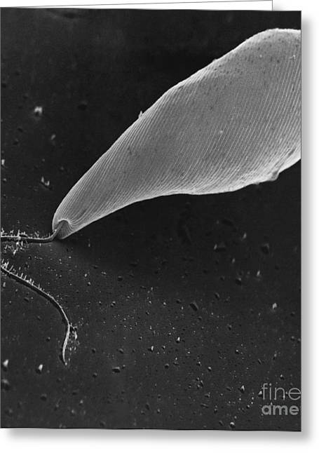 Unicellular Greeting Cards - Euglena Sem Greeting Card by David M. Phillips / The Population Council