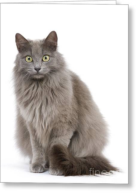 Gray Hair Greeting Cards - European Blue Cat Greeting Card by Jean-Michel Labat