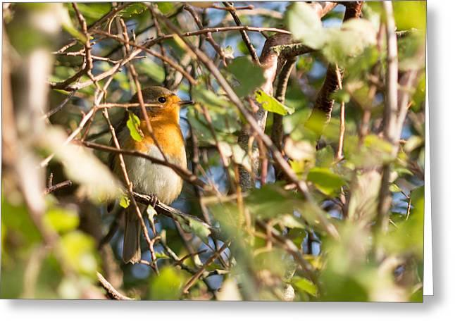 Fauna Greeting Cards - European Robin Greeting Card by Robert Carr