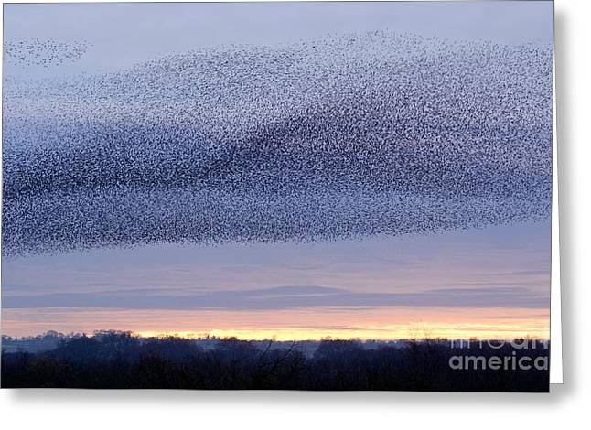 Starlings Greeting Cards - European Starling Flock Greeting Card by Duncan Shaw