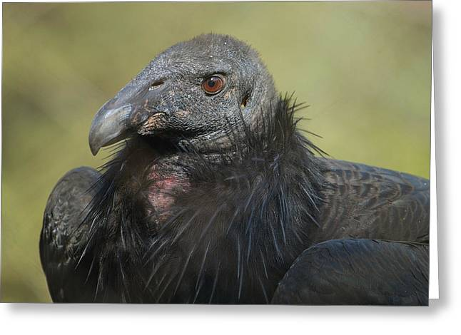 Condor Greeting Cards - Eye Of The Beholder Greeting Card by Fraida Gutovich