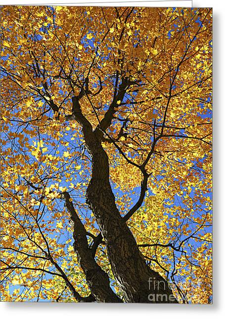 Autumn Greeting Cards - Fall maple trees Greeting Card by Elena Elisseeva