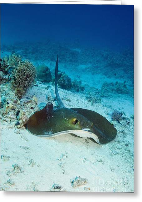 Reef Fish Greeting Cards - Feathertail Stingray Greeting Card by Georgette Douwma