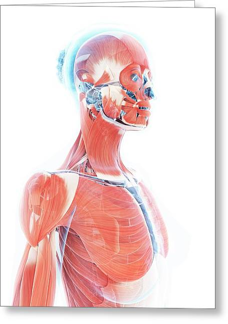 Female Muscular System Greeting Card by Sebastian Kaulitzki