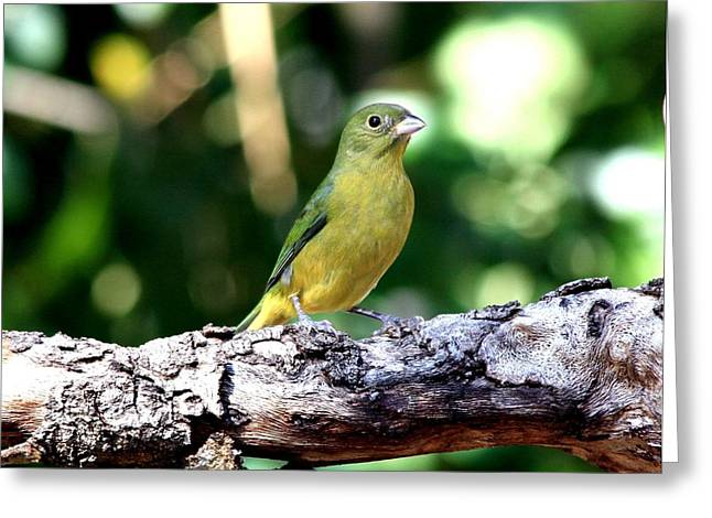 Green And Yellow Greeting Cards - Female Painted Bunting Greeting Card by Ira Runyan