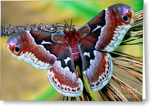 Promethea Greeting Cards - Female Promethea Moth Greeting Card by Millard H. Sharp