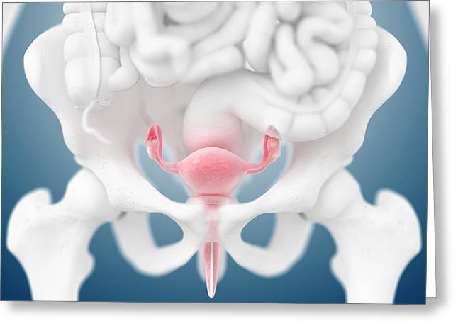 Female Reproductive Organs Greeting Card by Springer Medizin