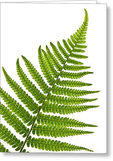 Leafs Greeting Cards - Fern leaf Greeting Card by Elena Elisseeva