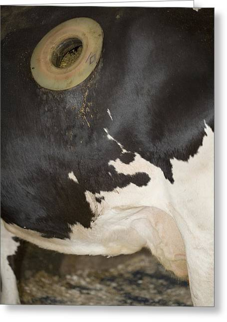 Fistula In Cow Greeting Card by Science Stock Photography