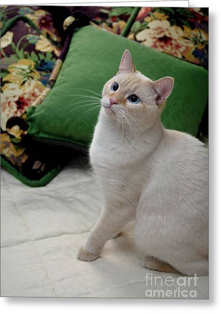 Domestic Cat Greeting Cards - Flame Point Siamese Cat Greeting Card by Amy Cicconi