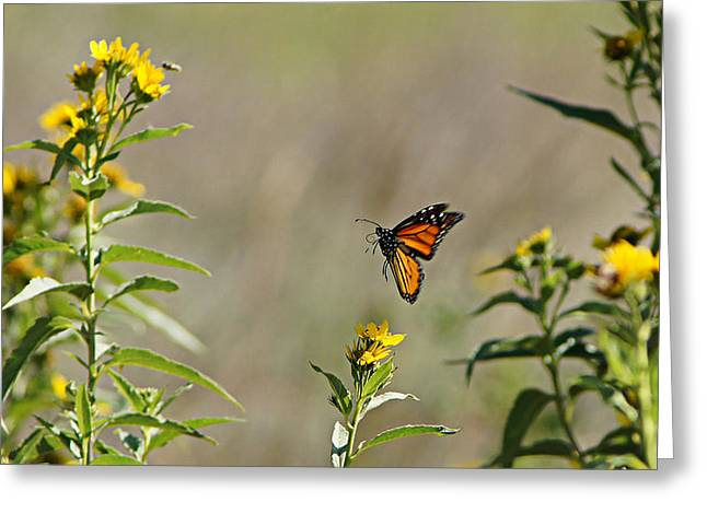 Flight Of The Monarch Greeting Card by Thomas Bomstad