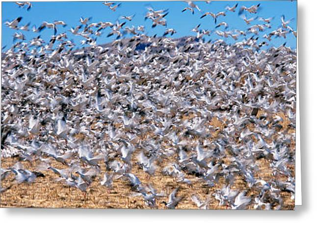 Flock Of Bird Greeting Cards - Flock Of Snow Geese Chen Caerulescens Greeting Card by Panoramic Images