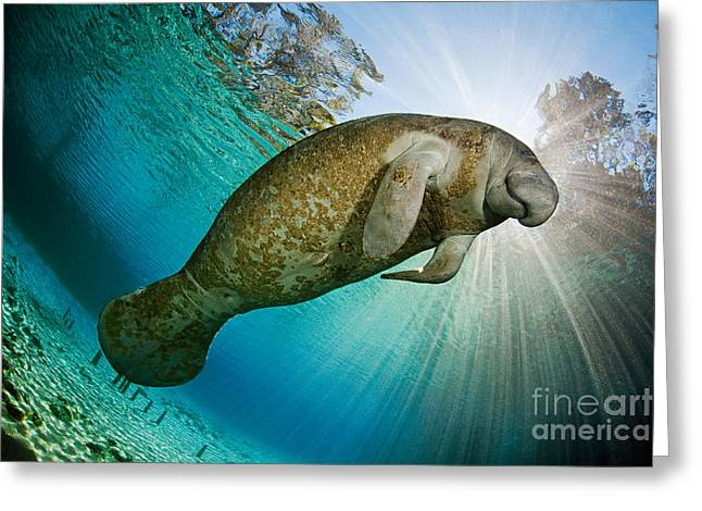 Manatee Springs Greeting Cards - Florida Manatee Greeting Card by David Fleetham