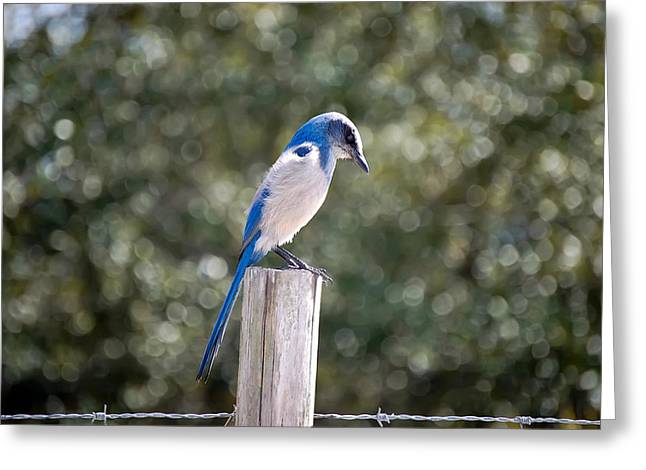 Copyrighted Greeting Cards - Florida Scrub Jay Greeting Card by Rich Leighton