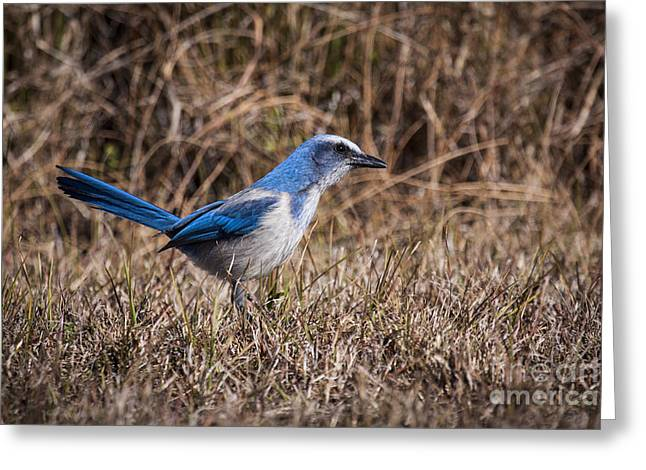 Merrit Greeting Cards - Florida Scrub Jay Greeting Card by Ronald Lutz