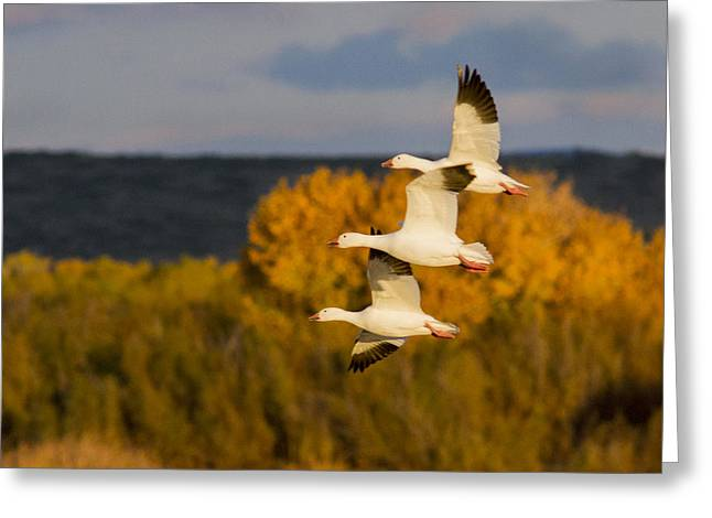 Wildlife Refuge. Greeting Cards - Flying Snow Geese Greeting Card by Jean Noren