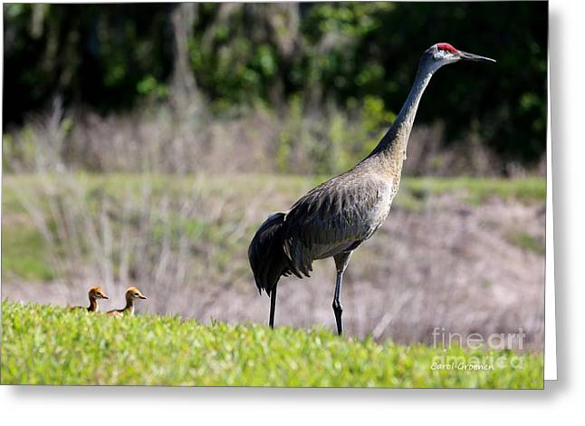Sandhill Crane Chicks Greeting Cards - Follow the Leader Greeting Card by Carol Groenen