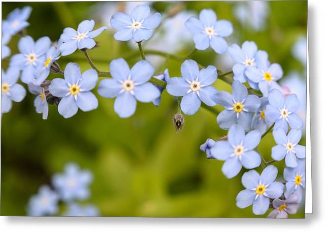 Closup Greeting Cards - Forget-me-not Greeting Card by Michael Goyberg