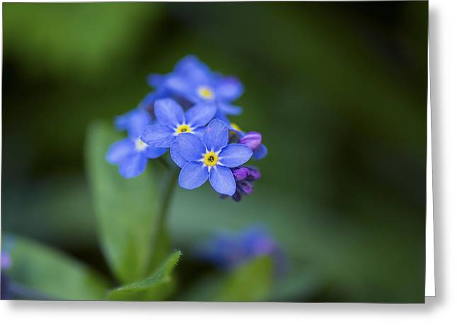 Forgotten Greeting Cards - Forget-Me-Not - Myosotis - Richmond Garden Greeting Card by May L