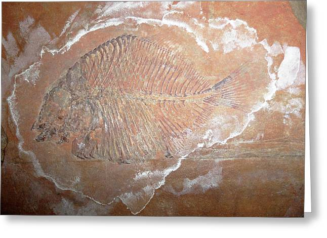 Fossil Fish Greeting Card by Ucl, Grant Museum Of Zoology
