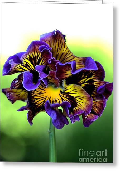 Joy Watson Greeting Cards - Frilly Pansy Greeting Card by Joy Watson