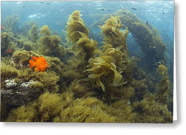 Kelp Forest Greeting Cards - Garibaldi In Giant Kelp Forest Catalina Greeting Card by Richard Herrmann