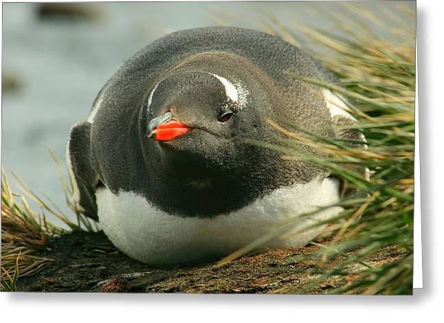 Brushtail Greeting Cards - Gentoo Penguin Greeting Card by Amanda Stadther